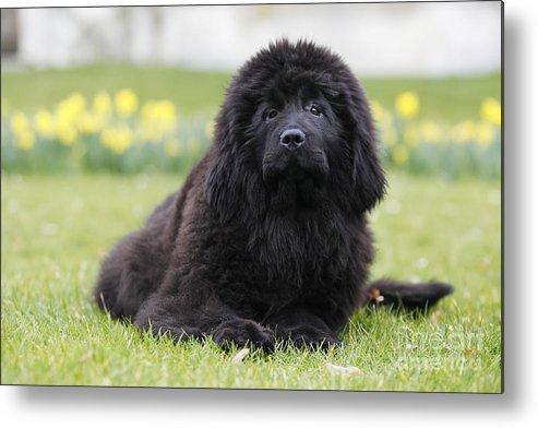 Newfoundland Metal Print featuring the photograph Newfoundland Dog by Jean-Michel Labat
