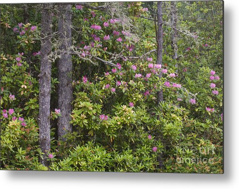 Pacific Rhododendron Metal Print featuring the photograph Rhododendron by John Shaw