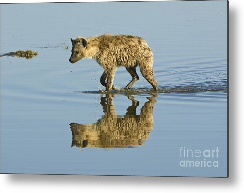 Africa Metal Print featuring the photograph Spotted Hyaena In Lake Nakuru, Kenya by John Shaw