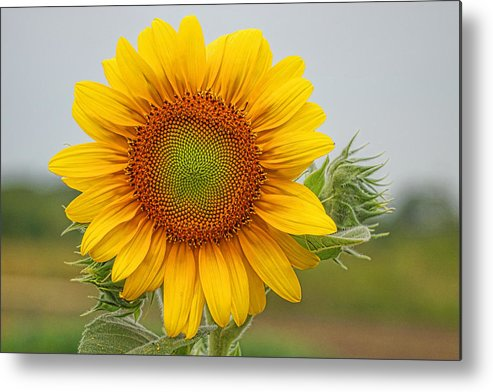 Sunflower Metal Print featuring the photograph Sunflower by Alan Hutchins