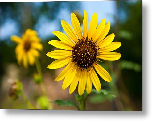 Wildflowers Metal Print featuring the photograph Sunflower by Mark Weaver