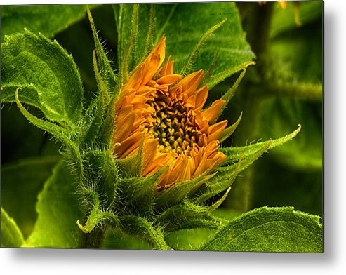 Sunflower Metal Print featuring the photograph Sunflower by Thomas Maugham