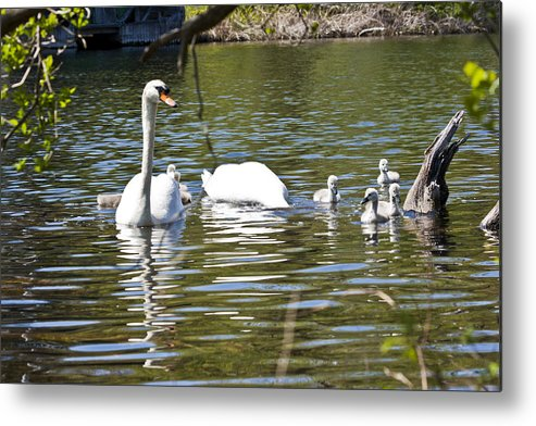 Swan Metal Print featuring the photograph Swan With Signets by Dennis Coates