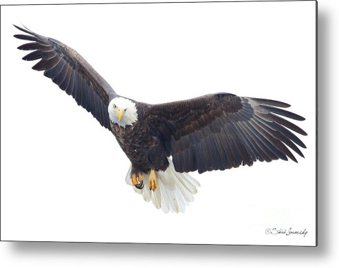 Bald Eagles Metal Print featuring the photograph Bald Eagle by Steve Javorsky