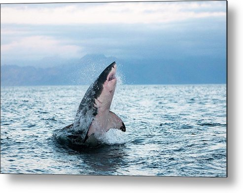 Adult Metal Print featuring the photograph Grand Requin Blanc Carcharodon by Gerard Lacz