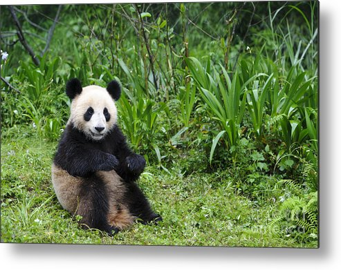 Ailuropoda Melanoleuca Metal Print featuring the photograph Giant Panda by John Shaw