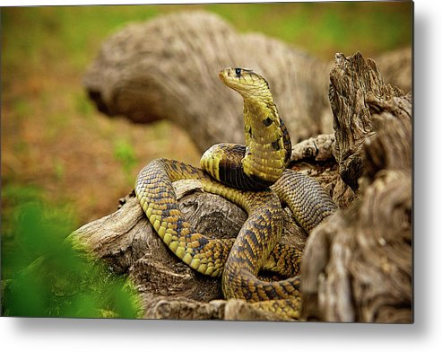 Africa Metal Print featuring the photograph African Snakes by Shannon Benson