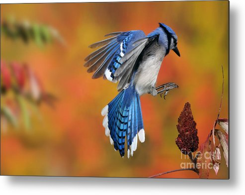 Blue Jay Metal Print featuring the photograph Blue Jay by Scott Linstead