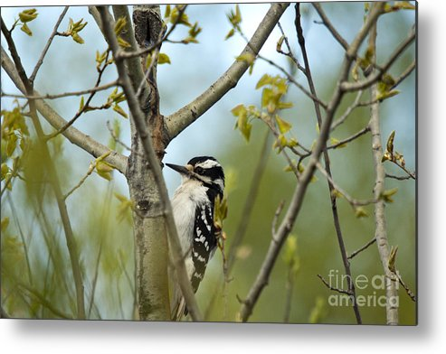Animal Metal Print featuring the photograph Hairy Woodpecker by Linda Freshwaters Arndt