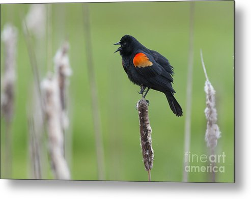 Nature Metal Print featuring the photograph Red-winged Blackbird by John Shaw