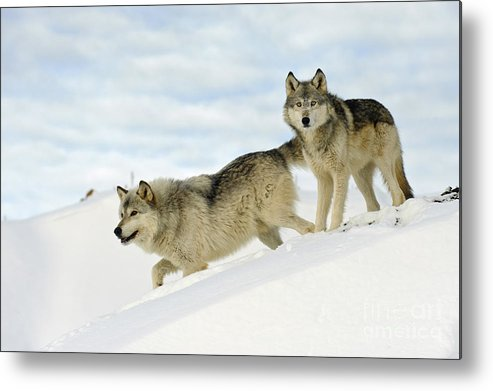 Canis Lupus Metal Print featuring the photograph Wolves In Winter by John Shaw