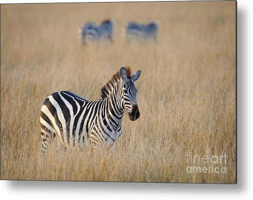 Africa Metal Print featuring the photograph Zebra by John Shaw