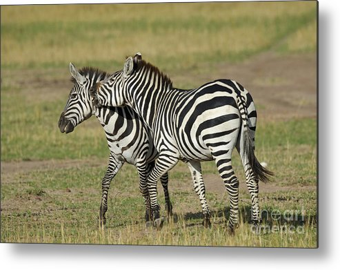 Africa Metal Print featuring the photograph Zebra Males Fighting by John Shaw