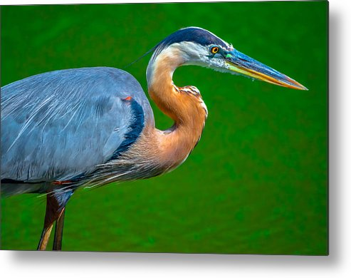 Ardea Metal Print featuring the photograph Great Blue Heron by Brian Stevens