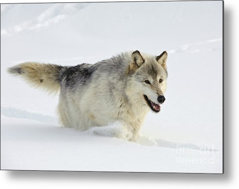 Canis Lupus Metal Print featuring the photograph Wolf In Winter by John Shaw