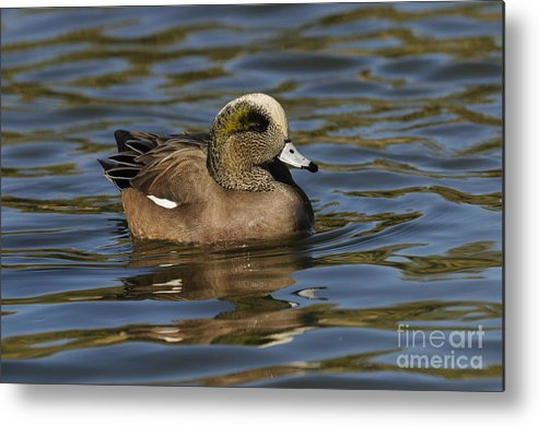 New Mexico Fauna Metal Print featuring the photograph American Widgeon by John Shaw