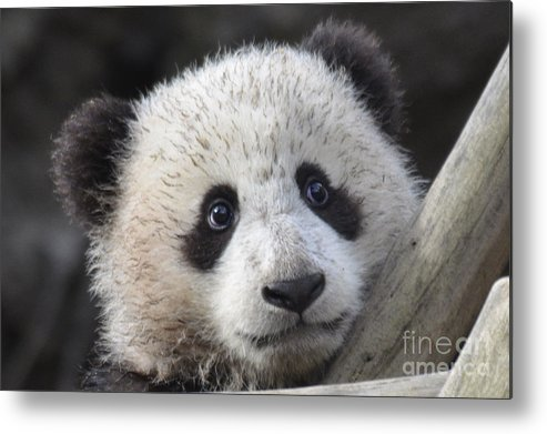 Nature Metal Print featuring the photograph Baby Giant Panda by Mark Newman