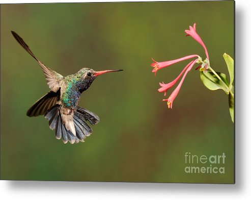 Birds Metal Print featuring the photograph Broad Billed Hummingbird by Scott Linstead