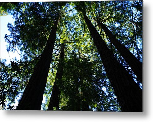 Usa Metal Print featuring the photograph Giant Redwoods by Aidan Moran