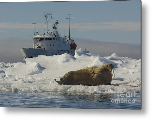 Walrus Metal Print featuring the photograph Walrus Resting On Ice Floe by John Shaw