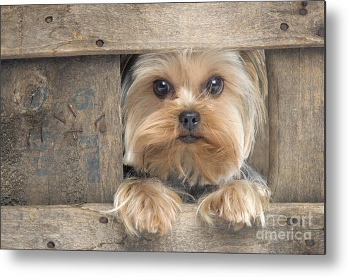 Yorkshire Terrier Metal Print featuring the photograph Yorkshire Terrier Dog by Jean-Michel Labat