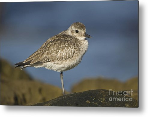 Black-bellied Plover Metal Print featuring the photograph Black-bellied Plover by John Shaw