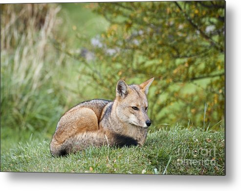Chilean Fauna Metal Print featuring the photograph Patagonian Red Fox by John Shaw
