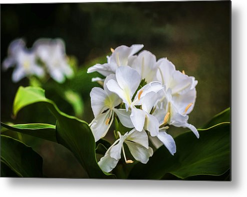 White ginger flowers h coronarium painted metal print by rich franco white ginger metal print featuring the photograph white ginger flowers h coronarium painted by rich franco mightylinksfo