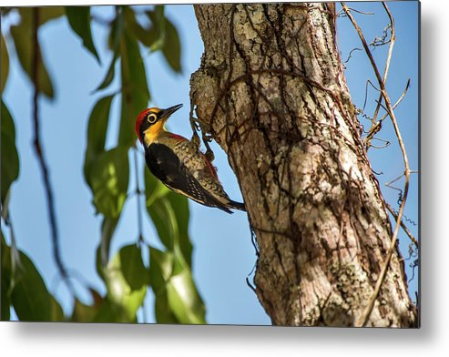 Animalia Metal Print featuring the photograph Yellow-fronted Woodpecker Melanerpes by Leonardo Mer�on