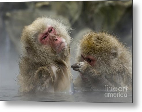 Japanese Macaque Metal Print featuring the photograph Japanese Macaques by John Shaw