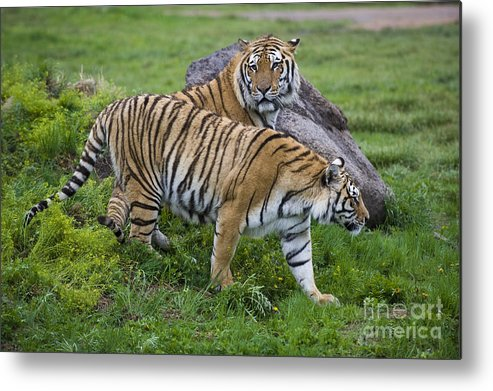 Asia Metal Print featuring the photograph Siberian Tigers, China by John Shaw