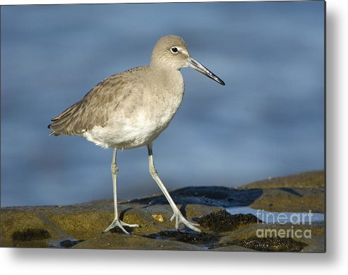 Nature Metal Print featuring the photograph Willet by John Shaw