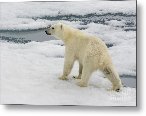 Polar Bear Metal Print featuring the photograph Polar Bear Crossing Ice Floe by John Shaw