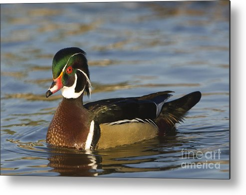 Nature Metal Print featuring the photograph Wood Duck by John Shaw