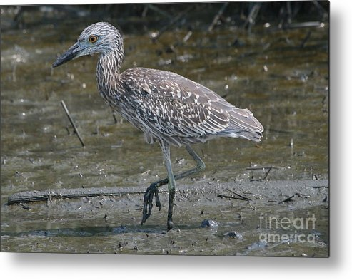 Juvenile Metal Print featuring the photograph Yellow -crowned Night Heron by Ken Keener