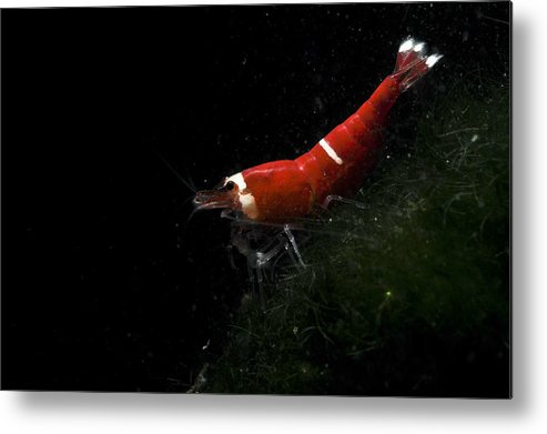 Fresh Water Crap Metal Print featuring the photograph Fresh Water Shrimp by Farid Laid