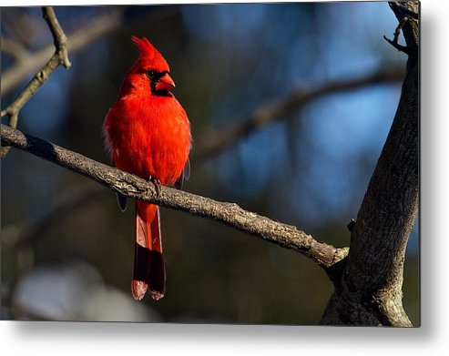 Nature Metal Print featuring the photograph Northern Cardinal Male by Dan Ferrin