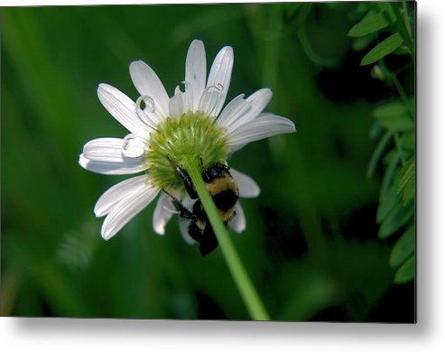 Insects Metal Print featuring the photograph A Bumble On The Wrong Side by Jeff Swan