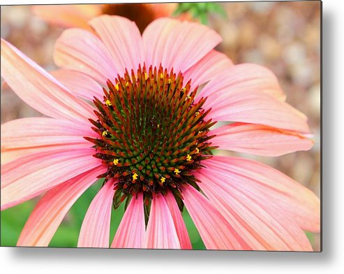 Daisy Metal Print featuring the photograph A Daisy For You by Elizabeth Budd