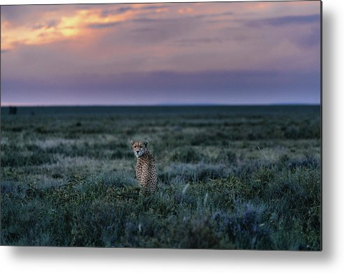 Animal Themes Metal Print featuring the photograph A Female Cheetah, Acinonyx Jubatus by Chris Schmid