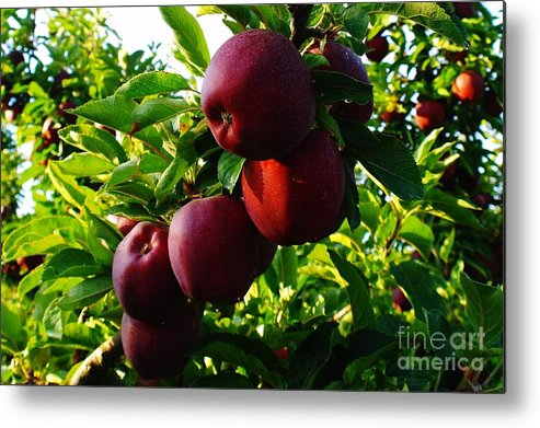 Apples Metal Print featuring the photograph A Full Branch by Jeff Swan