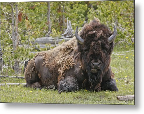 Buffalo Metal Print featuring the photograph A Lot Of Bull by Charles Warren