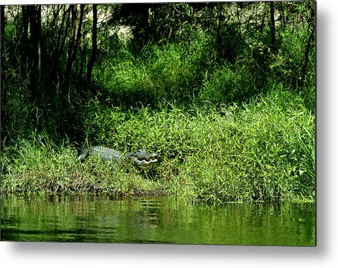 Alligator Metal Print featuring the photograph A Menacing Grin by April Wietrecki Green
