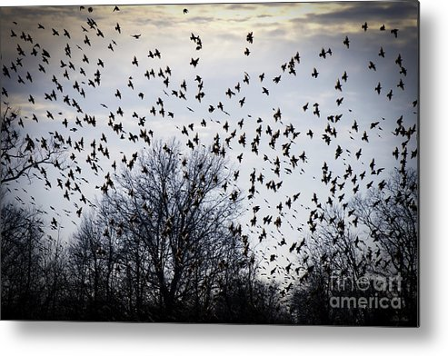A Million Birds Metal Print featuring the photograph A Million Birds by The Noeto