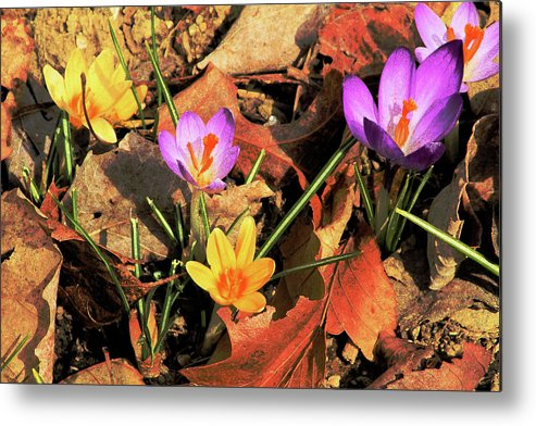 Flowers Metal Print featuring the photograph A New Season Blooms by Karol Livote