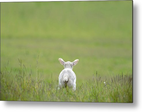 Lamb Metal Print featuring the photograph A New World by Gary Murison