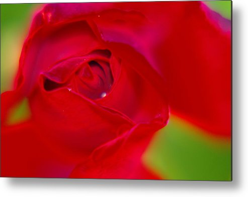Flowers Metal Print featuring the photograph A Soft Wet Rose by Jeff Swan