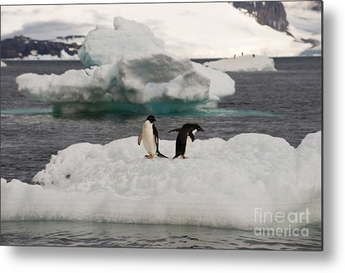 Iceberg Metal Print featuring the photograph Adelie Penguins On Ice by John Shaw