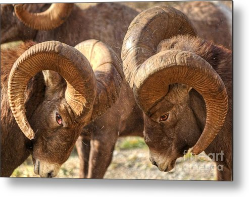 Bighorn Ram Metal Print featuring the photograph After Impact by James Anderson