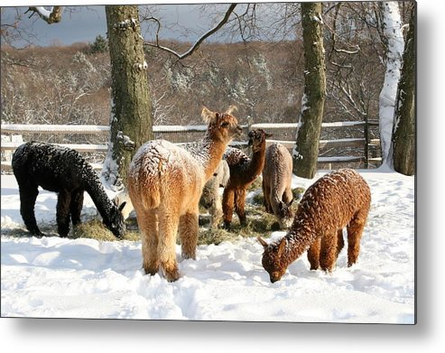 Alpaca Metal Print featuring the photograph After The Storm by Leda Blumberg